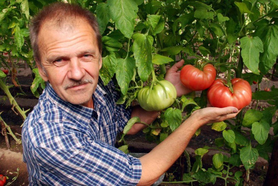 Гордость настоящего дачника, хороший урожай томатов