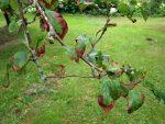вредители и болезни плодовых деревьев
