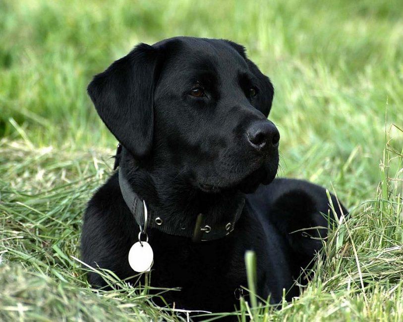 Шикарный черный пес
