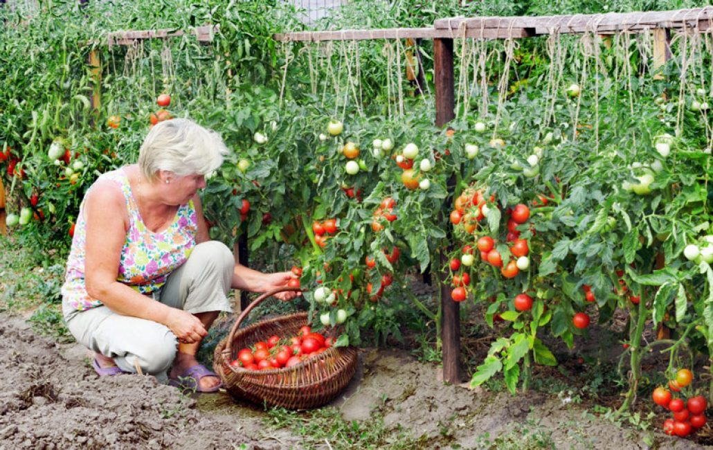 Подвязанные помидоры на грядках