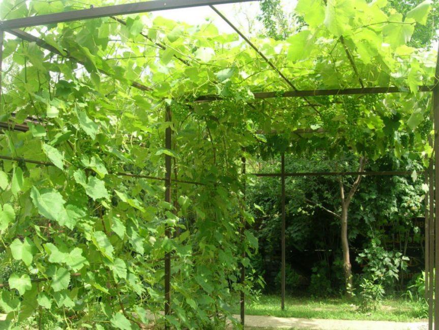 Виноград – податливое и хорошо гнущееся растение