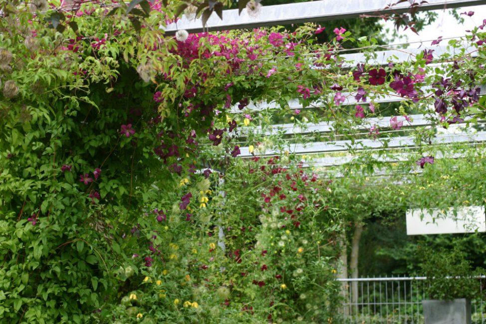 Клематисы – требовательное к условиям и уходу за собой растение