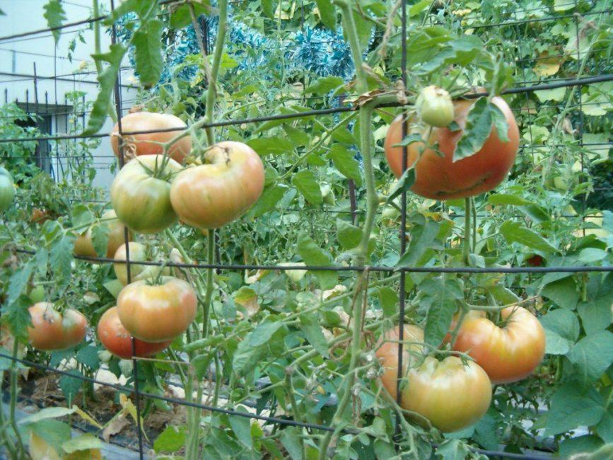 Металлическая сетка может послужить хорошей направляющей для кустов томата