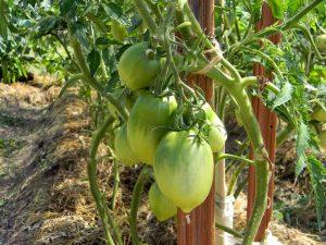 [Инструкция] Как подвязывать помидоры: описание, способы подвязки для открытого грунта и теплицы | (Фото & Видео)