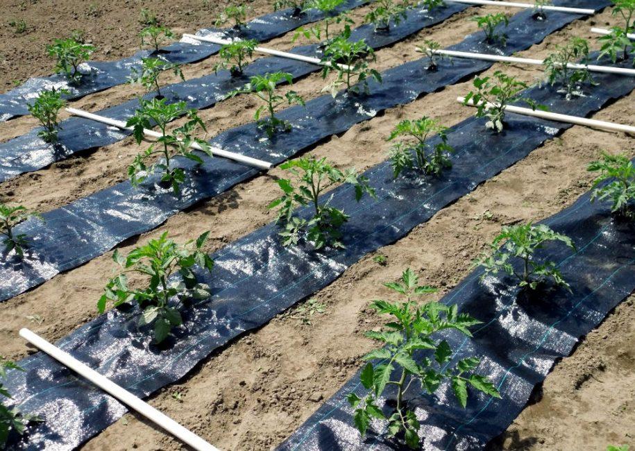 Темный материал способствует хорошему прогревания почвы и препятствует росту травы