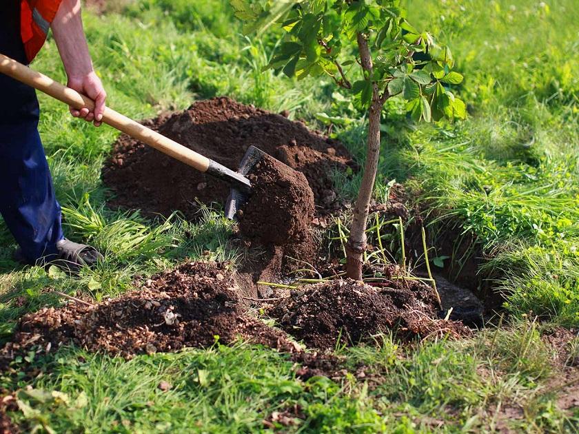 Посадка деревьев в марте 2020 сажать плодовые, фруктовые, садовые деревья, уход за деревьями, когда