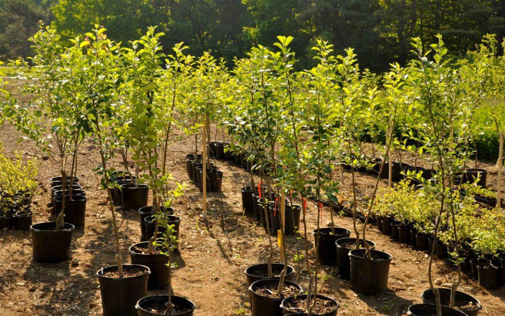 Саженец с закрытой корневой системой без вреда можно высаживать и летом
