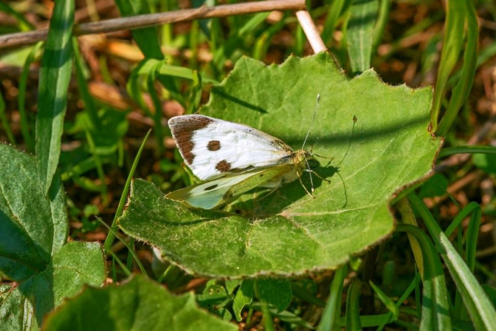 Бабочка-белянка или капустница