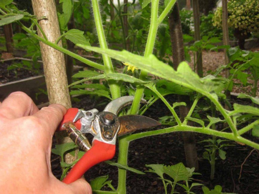 Удаление со стебля помидор лишних веток