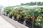 чем подкормить помидоры после высадки