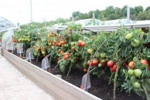 [Инструкция] Чем следует подкормить помидоры после высадки в теплицу, в грунт чтобы они были толстенькие и вкусные (Фото & Видео)+Отзывы