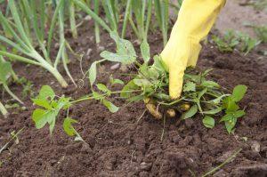 [Инструкция] Как навсегда избавиться от сорняков на дачном участке: народными средствами, химией и другими способами | (Фото & Видео)
