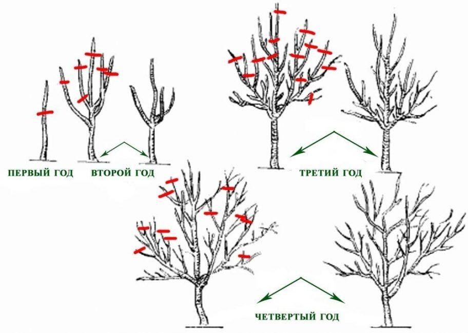 Сочетание прореживания и укорачивания при обрезке деревьев на разных годах жизни