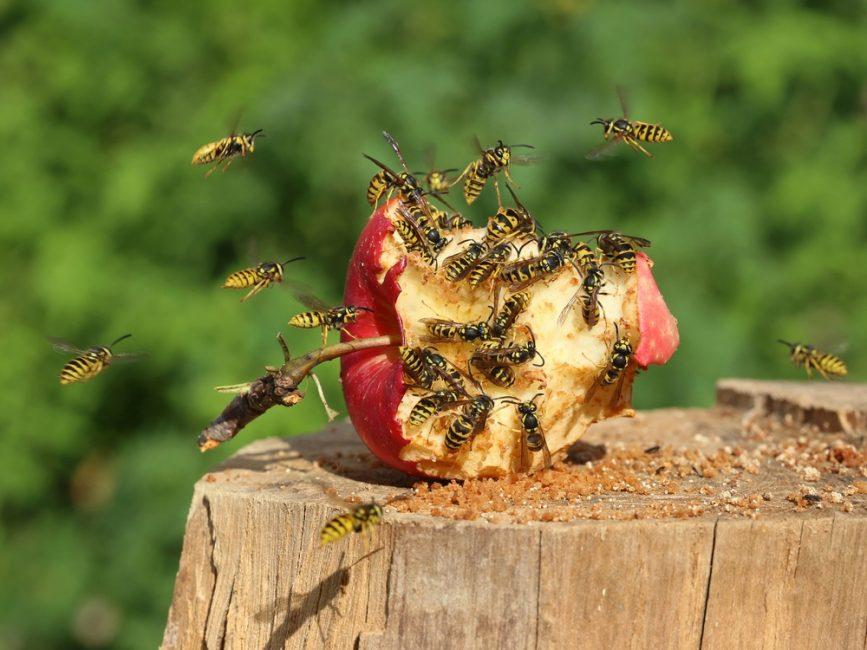 Осы едят яблоко