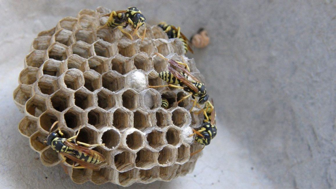 Типичное осиное гнездо без внешней оболочки
