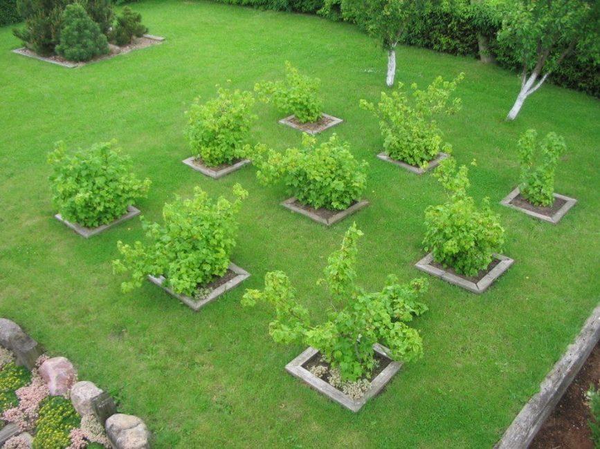 Плодовые кустарники на участке