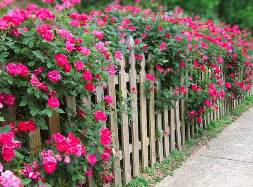 Розы способны быстро расти