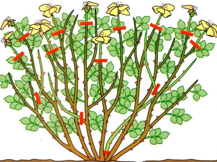 Обрезка однократноцветущих кустарниковых роз