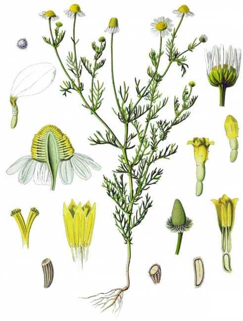 Ромашка аптечная – строение всех частей и полный вид цветка