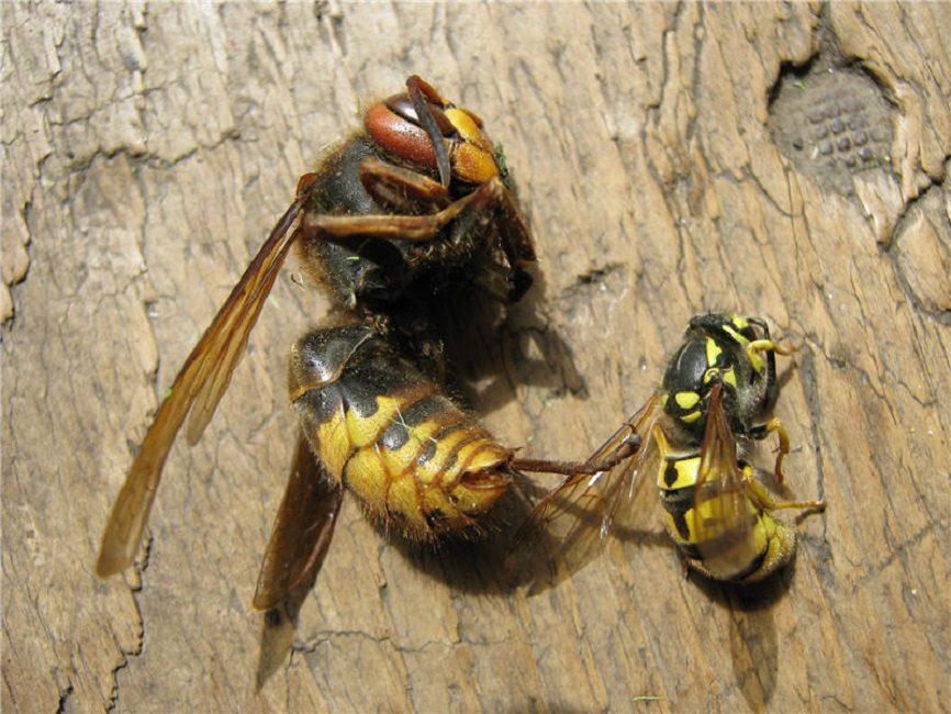 Сравнение размеров шершня и обыкновенной бумажной осы