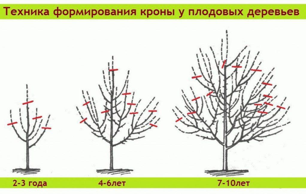 Пример укорачивания отдельных ветвей при формировании кроны в зависимости от возраста дерева