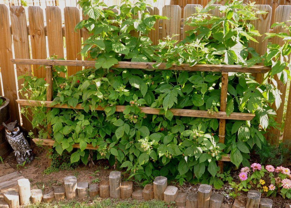 Ягодные кустарники в саду