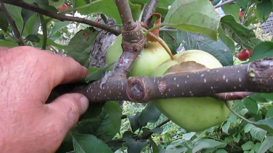 Удачный результат прививки яблони