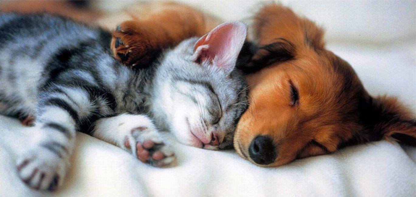 Кошки и собаки являются переносчиками блох