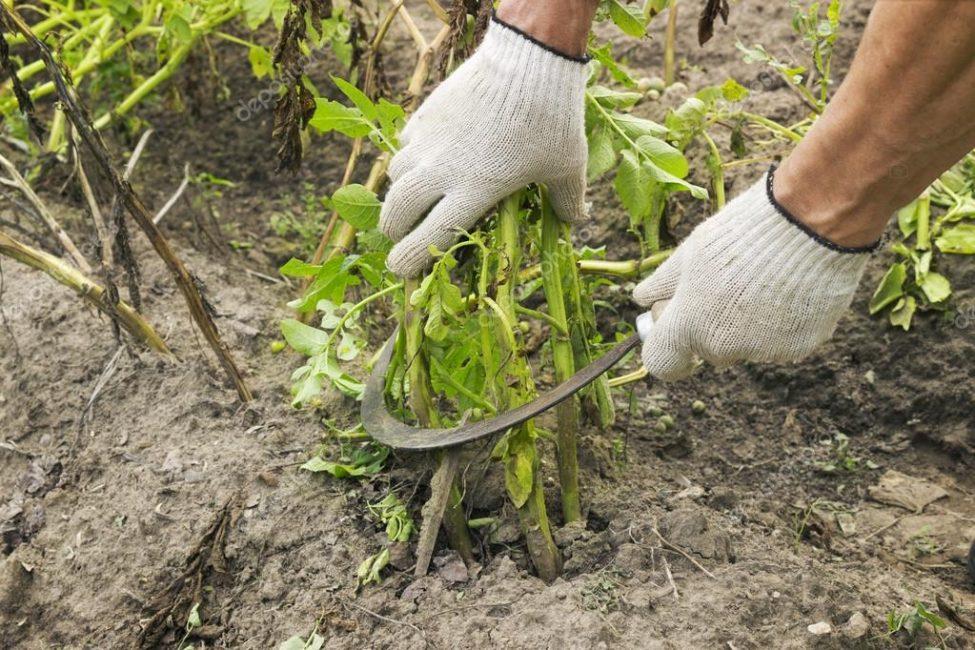 Скашивание ботвы за две недели до сбора урожая