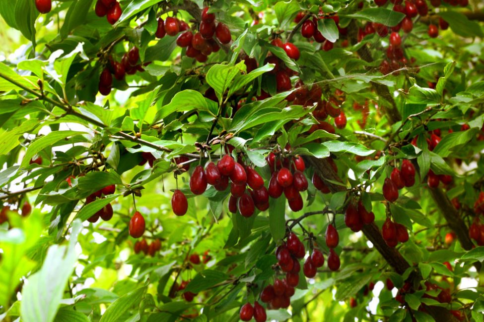 Тенелюбивые плодовые растения для сада