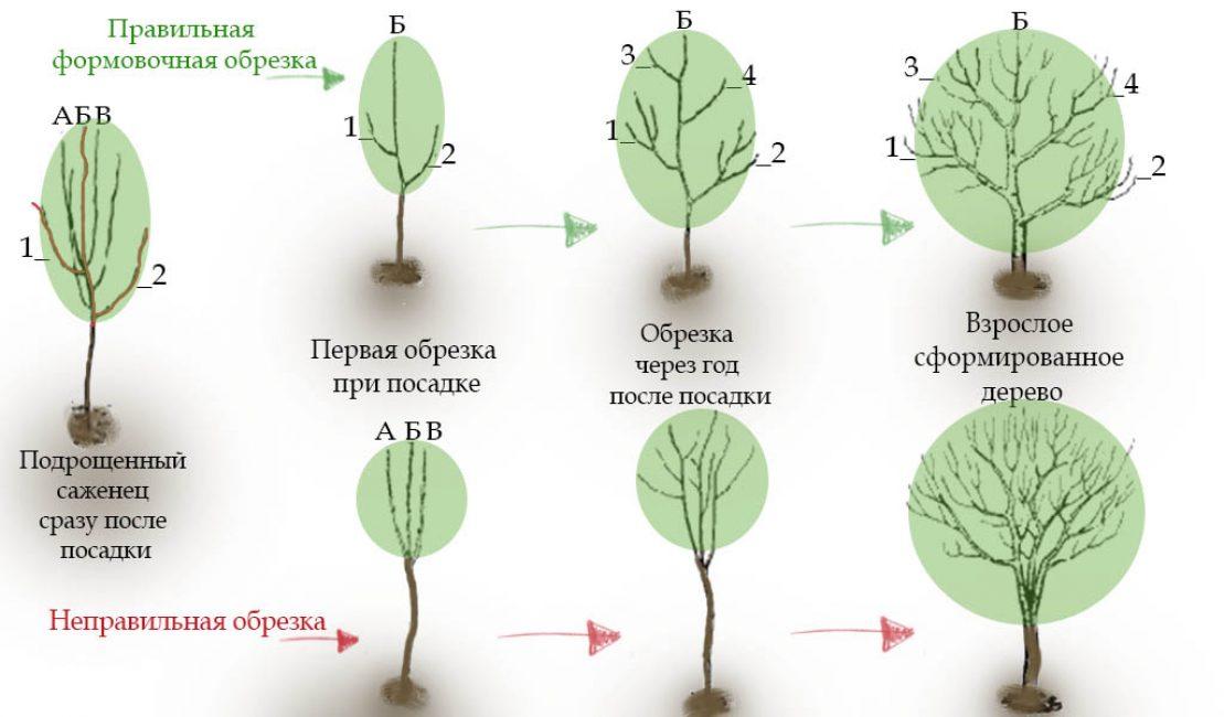 Формовочная обрезка молодых плодовых деревьев