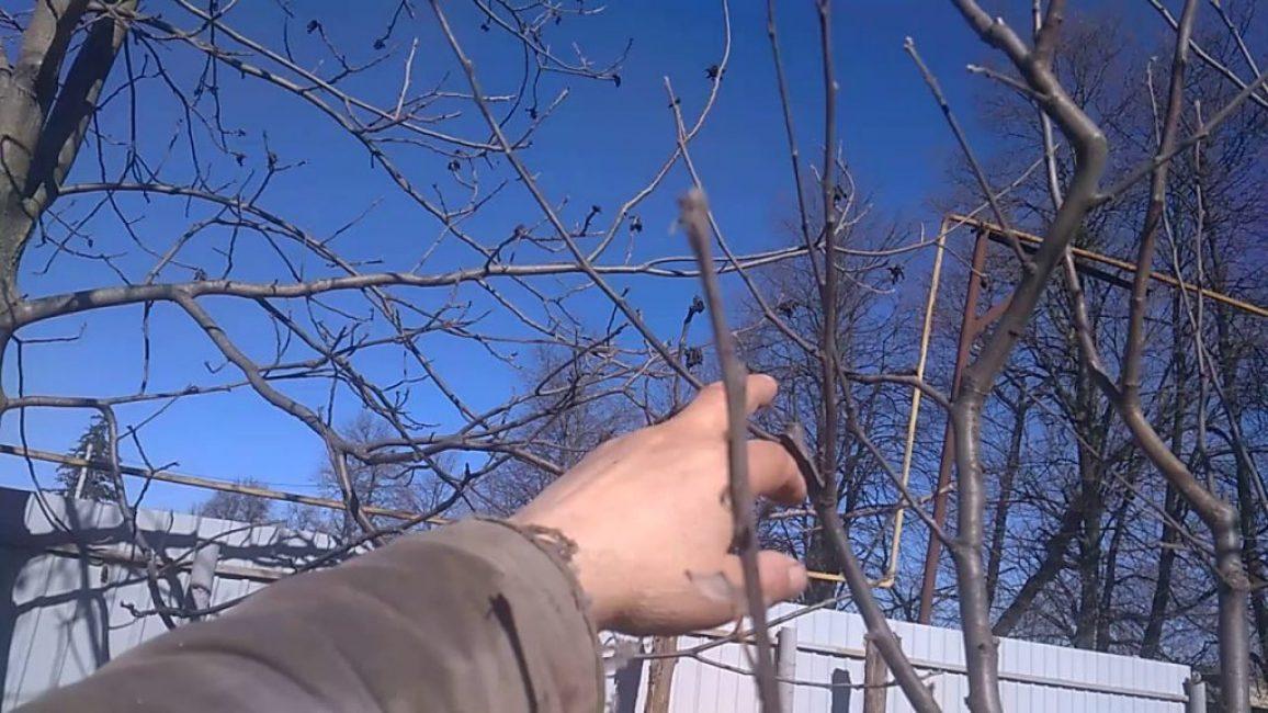 Пример неправильной обрезки яблони