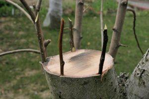 [Инструкция] Прививка плодовых деревьев летом и весной: описание самых популярных видов (Фото & Видео)