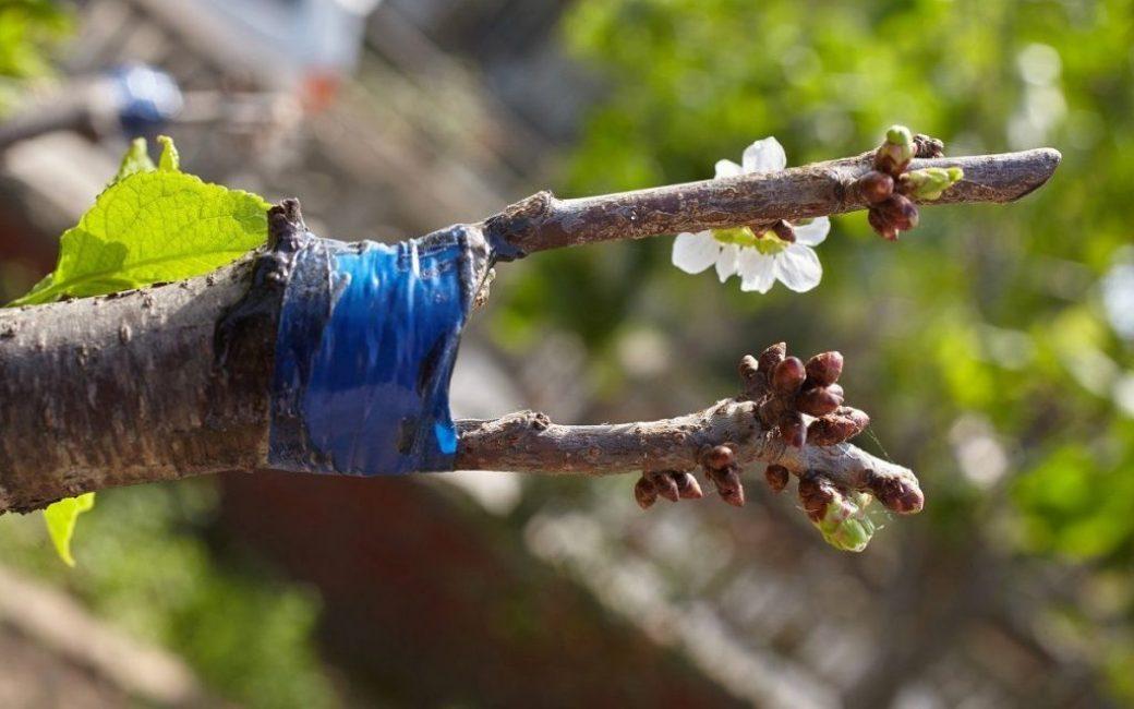 Прививки плодовых деревьев