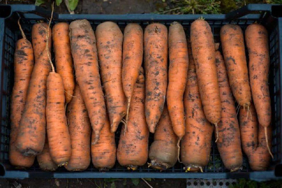 Собранный урожай моркови, отсортированный по размерам корнеплодов