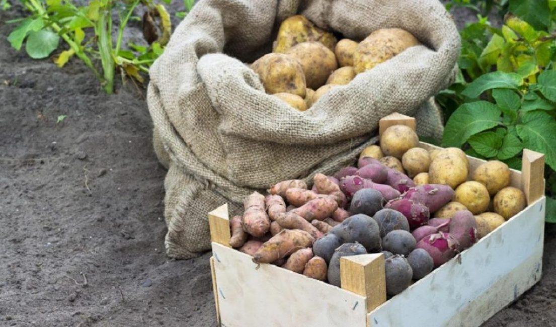 Свекла способна хорошо впитывать влагу, которую испаряет картофель