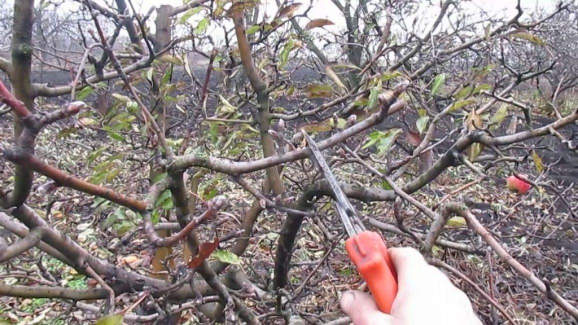 Центральная часть кроны дерева, нуждающегося в обрезке