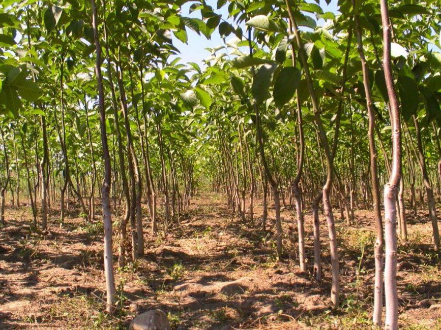 Выращивание подвоев грецкого ореха