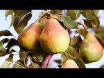 [ВИДЕО] Зимние сорта яблонь