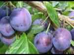 [ВИДЕО] Выращивание алычи