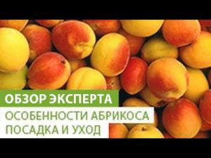 [ВИДЕО] Особенности абрикоса