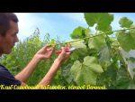 Кизил: описание, посадка в открытом грунте, уход, размножение, возможные болезни - растение на все случаи жизни (50+ Фото & Видео) +Отзывы