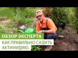 [ВИДЕО] Как правильно садить актинидию