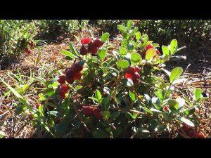 [ВИДЕО] Как правильно выращивать и черенковать бруснику