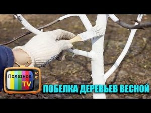 [ВИДЕО] Побелка деревьев весной