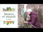 [ВИДЕО] Как заготовить черенки плодовых деревьев