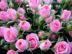 [ВИДЕО] Самые популярные многолетние цветы
