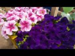[ВИДЕО] Главные ошибки при выращивании петунии