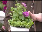 [ВИДЕО] Пять устойчивых хвойных растений для вашего сада