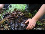 [ВИДЕО] Как пересадить и поделить нимфеи в пруду